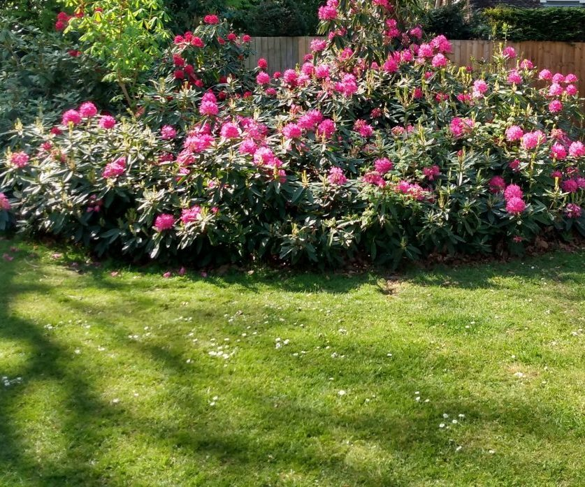 Beautiful deep pink Rhododendron bush in lawn