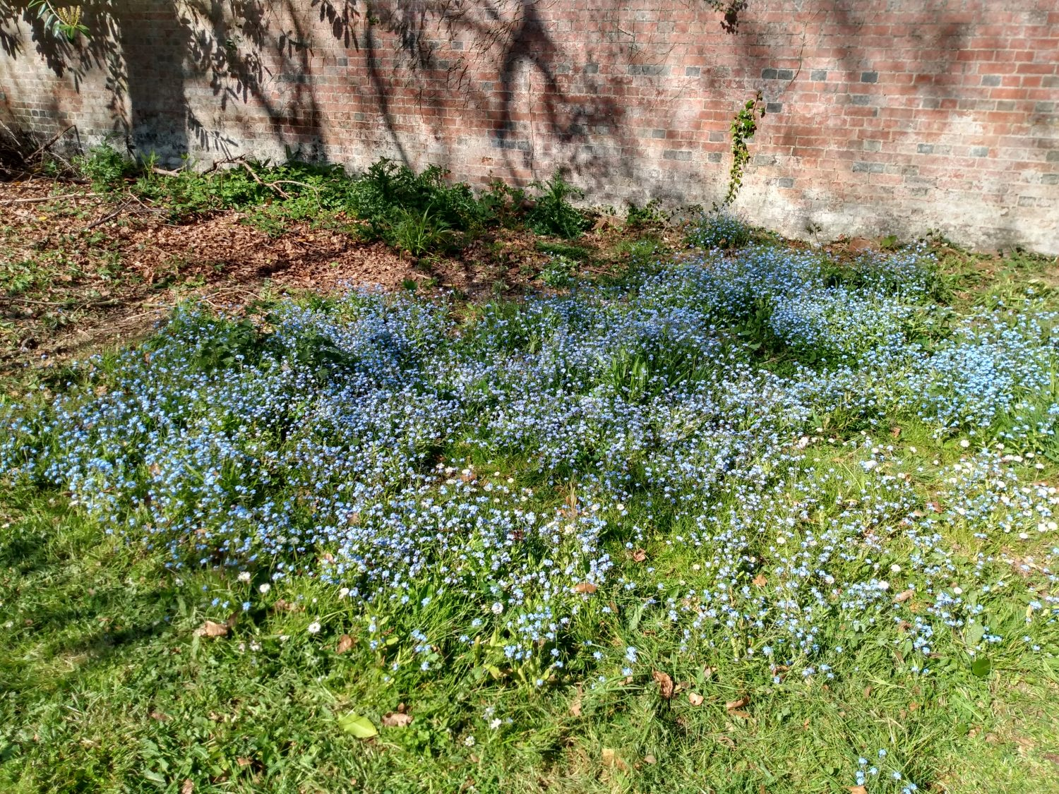 Large group of forget-me-knots growing in front of walled garden brick wall