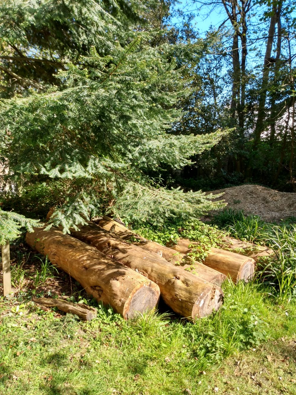 Piles of logs on the grass under fir tree with glimpse of blue sky